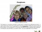 Foxgloves.