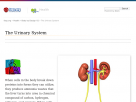 The urinary system at Faqs.org.