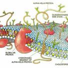 Structure of the cell membrane