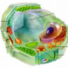 Plant cell (blank)