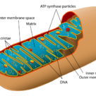 Structure of a mitochondrion (II)