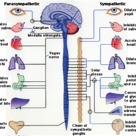 Structure and functions of the Autonomic Nervous System