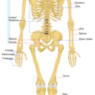 The human skeleton (back)
