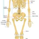 The human skeleton (back)