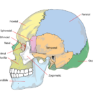 The human skull (side)