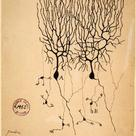 Drawing by Ramón y Cajal of neurones (1899)