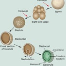 First stages of the embryonic development