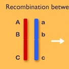 Recombination by crossing over in meiosis (II)