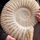 Large ammonite fossil