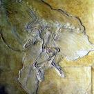 Fossil of <i>Archaeopteryx</i> (II) with impressions of feathers