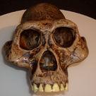 Reconstruction of the skull of <i>Australopithecus afarensis</i>