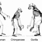 Hominoids' skeletons