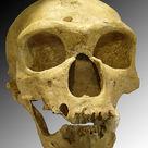 <i>Homo neanderthalensis</i>