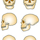 Comparison between <i>H. sapiens</i> and <i>H. neanderthalensis</i> skulls
