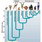 Phylogenetic tree of Primates