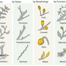 Types of buds