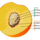 Fruit diagram