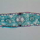 Cross section of a leaf (III)