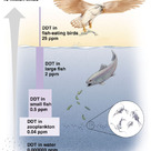 Accumulation of DDT through the food chains