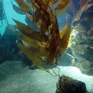 <i>Macrocystis</i>, a brown alga