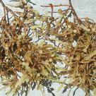 <i>Sargassum</i>, a brown alga