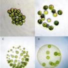 Colonies of green algae