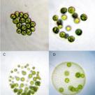 Colonies of green algae