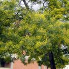 Mimosa (<i>Acacia dealbata</i>) (I)