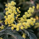 Mimosa (<i>Acacia dealbata</i>) (II)