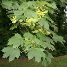 Norway maple (<i>Acer platanoides</i>)