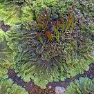 <i>Anthoceros</i>, a hornwort