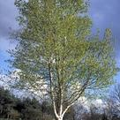 Silver Birch (<i>Betula pendula</i>)