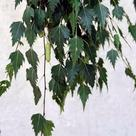 Silver Birch (<i>Betula pendula</i>) - Leaves and catkin
