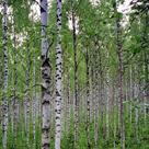 Silver Birch (<i>Betula pendula</i>) - Bark