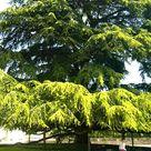 Lebanon cedar (<i>Cedrus libani</i>)