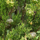 Mediterranean cypress (<i>Cupressus sempervirens</i>): scale-like leaves and cones