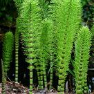 <i>Equisetum</i>, a horsetail