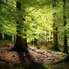 Beech (<i>Fagus sylvatica</i>) - Forest