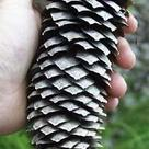 Norway spruce (<i>Picea abies</i>) - Open female cone