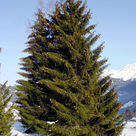 Norway spruce (<i>Picea abies</i>)