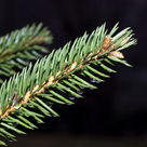 Norway spruce (<i>Picea abies</i>) - Shoot