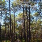 Maritime pine (<i>Pinus pinaster</i>)