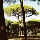 Stone pine (<i>Pinus pinea</i>)