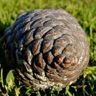 Stone pine (<i>Pinus pinea</i>) - Closed female cone