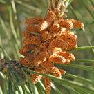 Stone pine (<i>Pinus pinea</i>) - Male cones