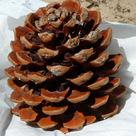 Stone pine (<i>Pinus pinea</i>) - Open female cone