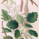 White poplar (<i>Populus alba</i>) - Leaves and catkins