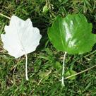 White poplar (<i>Populus alba</i>) - Leaves