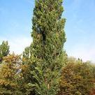 Black poplar (<i>Populus nigra</i>)