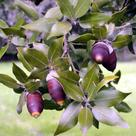Holm oak (<i>Quercus ilex</i>)